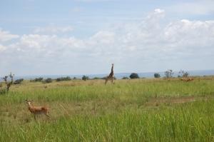 Rothschild's giraffe (J. Kerbis)