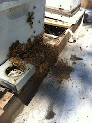 Bees stealing the hive (M. Miller)