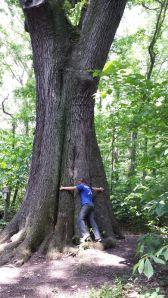 The champion Cherrybark Oak