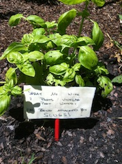 Damaged basil plant, with sign (M. Miller)