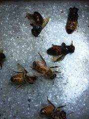 Dead bees (M. Miller)