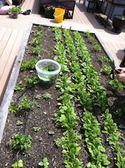Spinach harvested from the rooftop