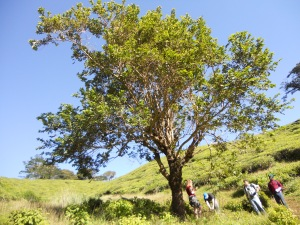 Collecting data underneath an isolated tree, with tea plants surrounding the wadge (N. Burns)