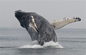 Humpback whale (photo: M. Hoffman Trotter)