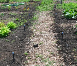 Drip irrigation system at the RU Community Garden, awaiting tubing to deliver water directly to plants (photo: M. Radeck)