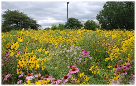 RU's restored prairie and part of its urban forest at the Schaumburg Campus (photo: M. Radeck)