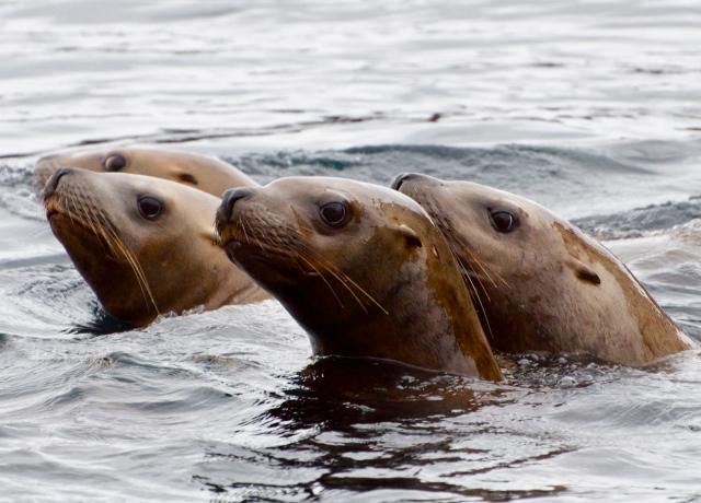 Steller sea lions (M. Hoffman)