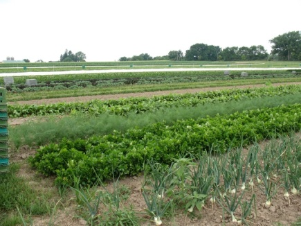 Vegetable fields at Angelic Organics Farm, summer 2011 (M. Bryson)