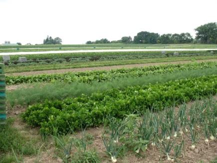 Vegetable fields at Angelic Organics Farm, summer 2011 (M. Bryson)