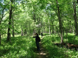 Hiking through Busse Woods, a National Natural Landmark woodland-wetland mosaic in the NW suburbs of Chicago (photo: M. Bryson, May 2015)
