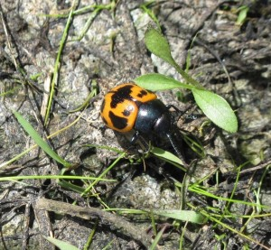 Milkweed Leaf Beetle (Labidomera clivicollis) Midewin Tallgrass Prairie, Illinois. May 2015. Photo: Karen Craig