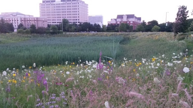 This wetland prairie hybrid sits near Roosevelt University's Schaumburg campus. Notice its presence amidst a commercial area: it blends in with nearby human development. (photo: E. Gavrilovic)