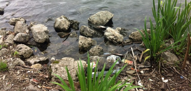 Shoreline of the Chicago River at Canal Origins Park. The river has trash along the shoreline, yet still has lively plants growing. (photo: Jones, 2015)