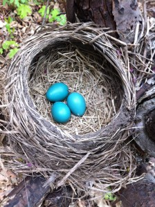 Bright blue robin eggs from a robin's nest at the Montrose bird Point Sanctuary. (photo: Jones, 2015)