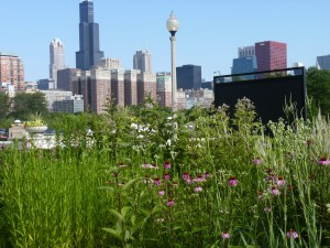 Native gardens outside the Field Museum (photo: L. Miller Hill)