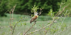 A dickcissel sings inside Midewin National Tallgrass Prairie (photo: T. Mucci May 2015)