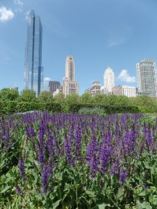 Skyscrapers overlook Millennium Park's Lurie Garden in Downtown Chicago (photo: T. Mucci 2015)