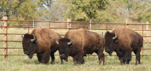 Bison were reintroduced to Midewin National Tallgrass Prairie in October 2015 (source: U.S. Forest Service)