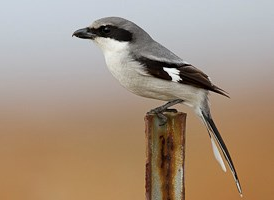 Loggerhead shrike (source: Gerrit Vyn, Cornell Lab of Ornithology)