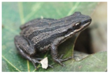 Western Chorus Frog (source: Chicago Academy of Sciences)