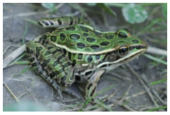 Northern Leopard Frog (source: Chicago Academy of Sciences)