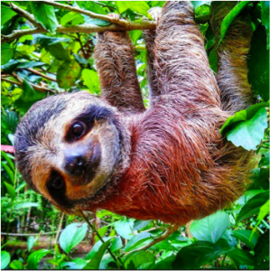 Sloths - like really chill monkeys